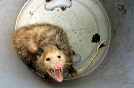Canned Opossum